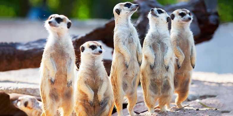 Meerkat dating site